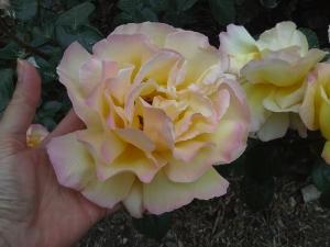 As tulipas se foram, mas as rosas não fazem feio!