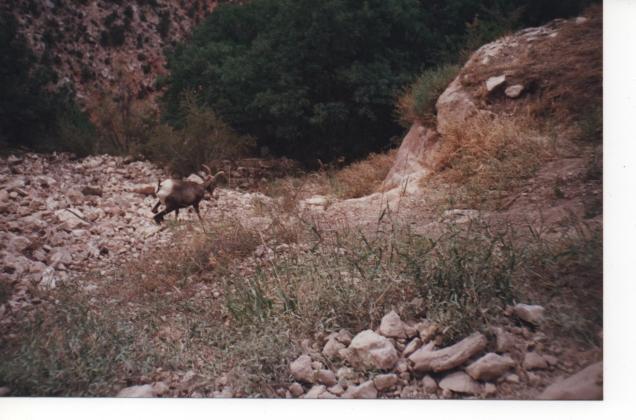 O bighorn sheep escapando de minha foto