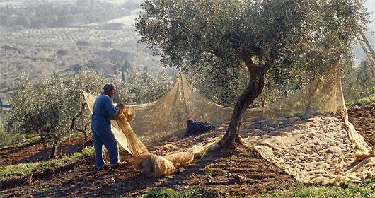 colheita azeitona