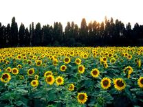 girassol na Toscana