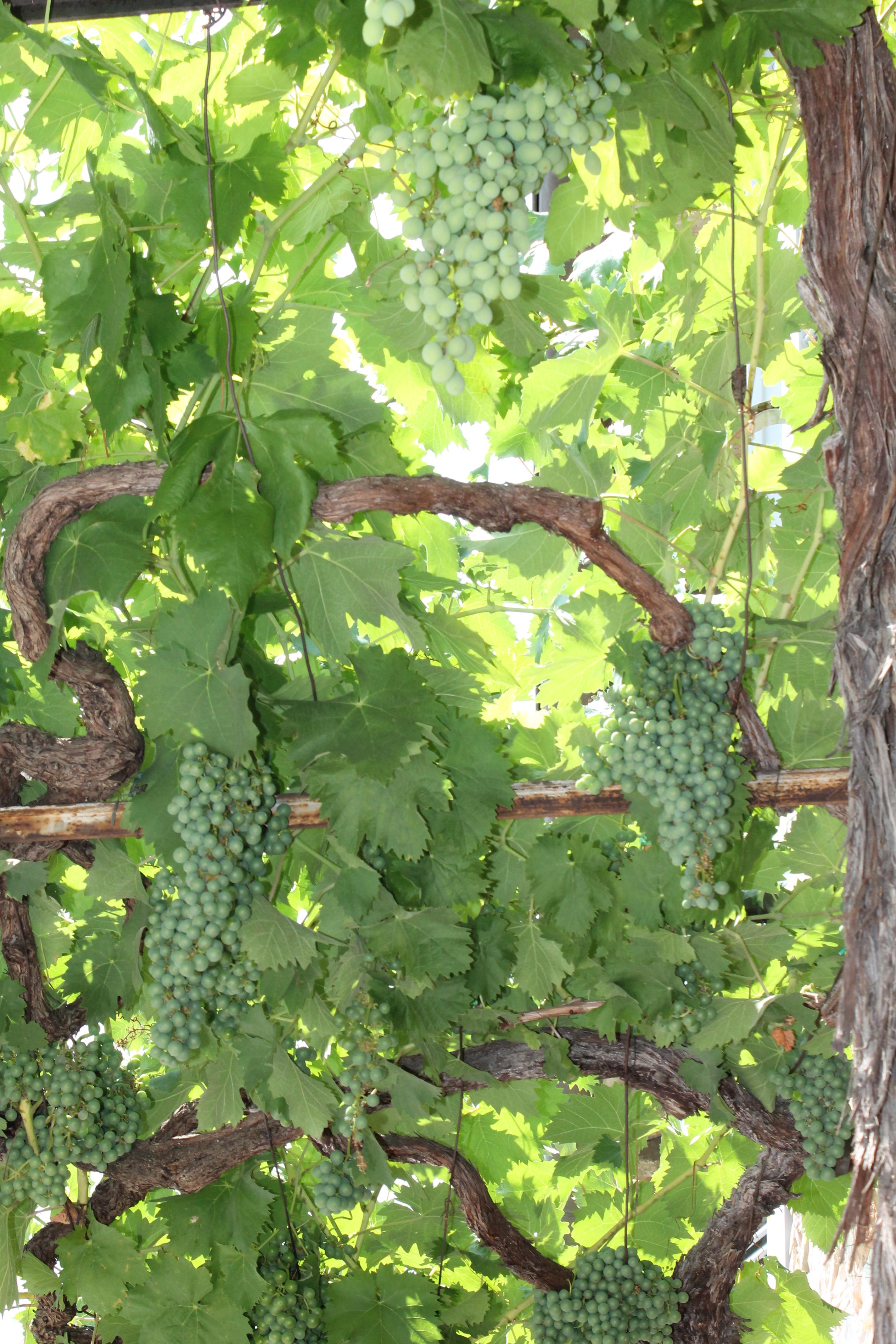uva na Toscana