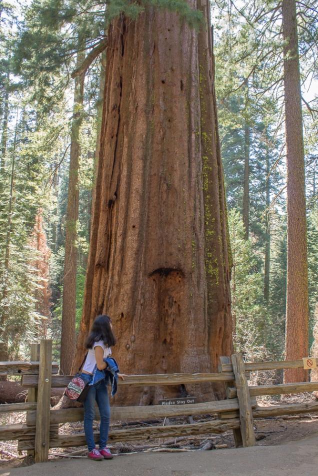 Minha filha admirando a Sequoia