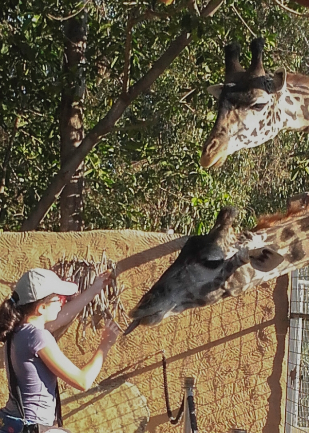 Ju alimentando as girafas