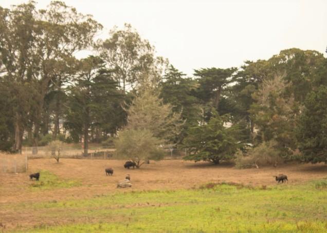 Bisões em campo do parque