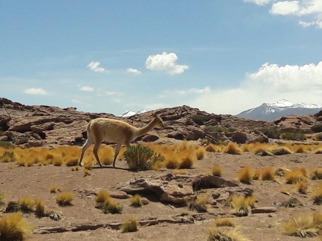 Atacama fauna